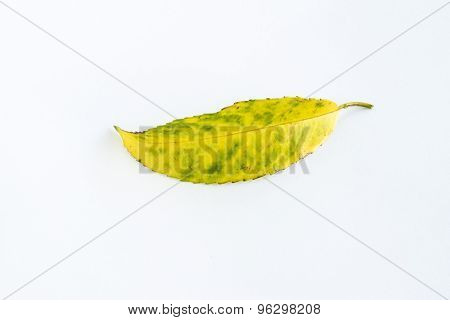 Yellow And Green Falling Leaf