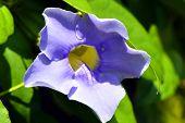 pic of glory  - Thunbergia BLUE GLORY Blue Trumpet vine flower - JPG