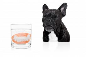 stock photo of false teeth  - french bulldog dog with false set of prosthetic teeth cleaning in a glass of water - JPG