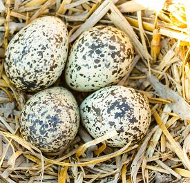 picture of killdeer  - A nest out in a bare field containing Killdeer eggs - JPG