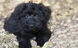 pic of curio  - Adorable puppy outdoors with big sweet puppy dog eyes and copyspace on right side - JPG
