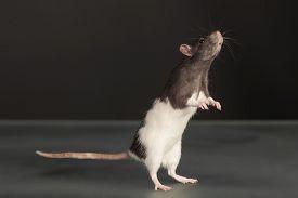 picture of rats  - portrait of standing domestic rat in studio - JPG