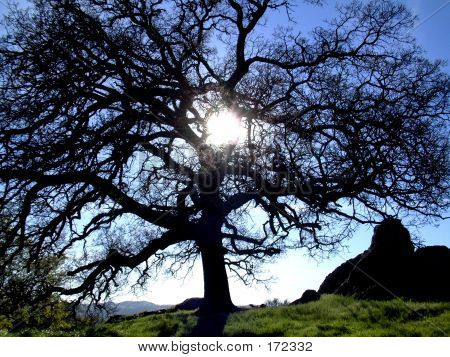 Sunshine Through An Oak Tree