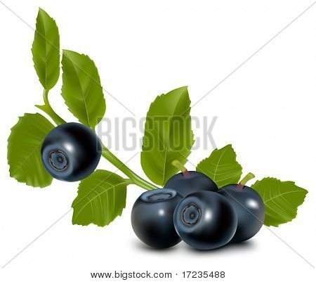Vector. Blueberry with leaves.