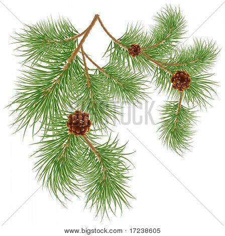 Vector illustration of pine cones with pine needles