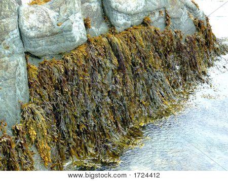 Seaweed & Periwinkles