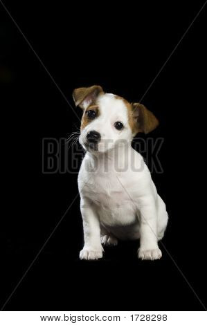 .Jack Russel Sitting