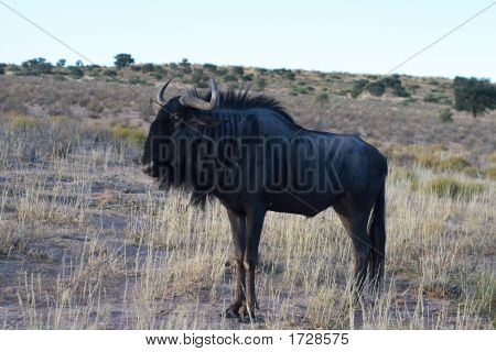 Wildebeest Before Dawn In Kalahari Desert