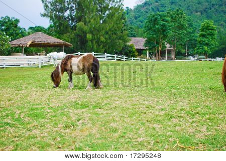 Brown Horse Eating And Grazing In Farm