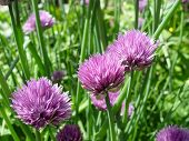 stock photo of green onion  - Close up of the flowers of some Chives  - JPG