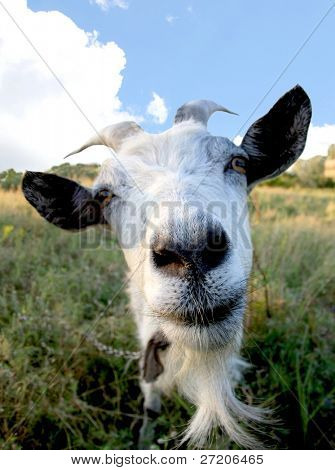 Funny Rural billy goat on the meadow