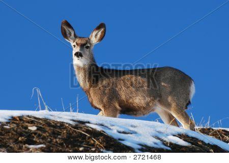 Utah Mule Deer