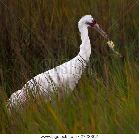 Whooping Crane And Crab