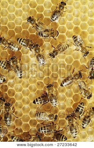 Honeybees on a comb
