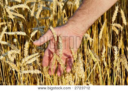 Hand And Wheat