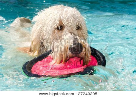A large poodle plays fetch in a swimming pool.