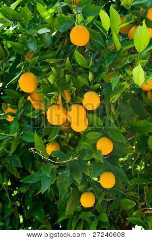 Ripe organic oranges hanging from an orange tree.