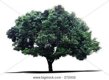 Magnolien-Baum
