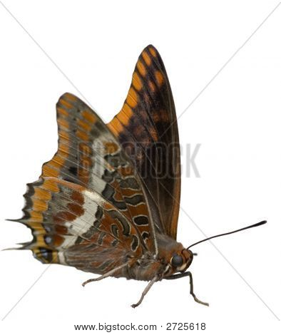 Two Tailed Pasha - Butterfly, Brown