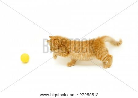 red kitten hunts for ball isolated on white background
