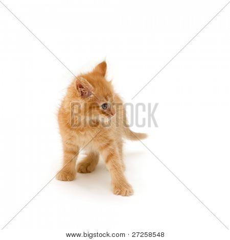 angry kitten isolated on white background