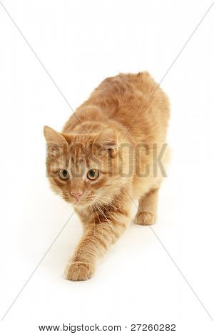 kitten slink isolated on white background