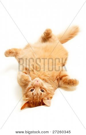 fat red cat lazy with big paunch lying on the back isolated on white background