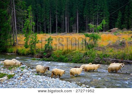 Sheep crossing a mountain river
