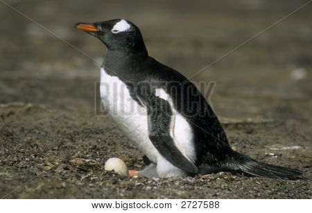 Nested Penguin With Egg