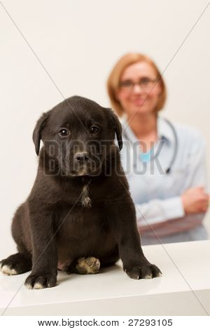 Friendly female veterinary and black labrador puppy