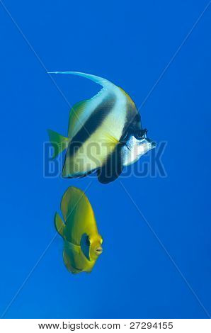 Red Sea banner fish and masked butterfly fish at the background.