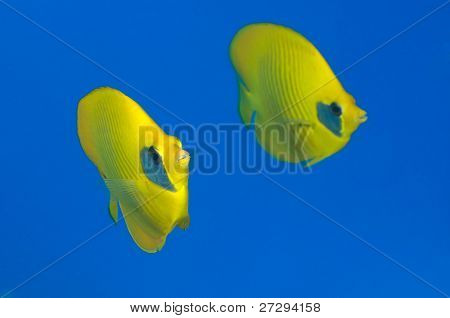 Two butterfly fishes over big blue copy space.