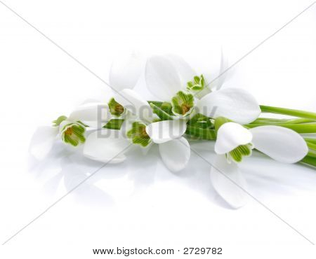 Bouquet Snowdrops  Isolated