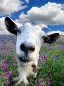 image of billy goat  - Funny Rural billy goat on the flower meadow - JPG