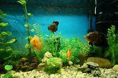Fish In A Dirty Aquarium. Astronotus-oscar, Cichlid. poster
