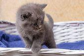 Kitten Sitting In A Basket. Little Kittens In A Basket With A Towel. poster