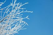 Frosty winter branches