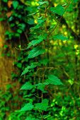 Vertical Background - Stalk Of Colchis Ivy On A Green Background Of Subtropical Forest poster