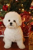 Christmas Dog. A purebred Bichon Frise puppy smiles as she poses for her Christmas Photo under a Chr poster