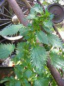 Stinging Nettle Organic Plant. Nettle Green Leaf poster