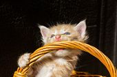 Little Funny Red-haired Kitten Bites The Wicker Basket Handle. Kitten In The Sun On A Dark Blurred B poster