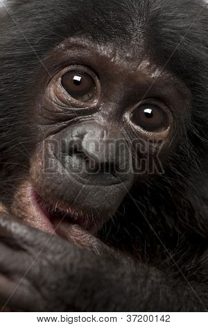 Baby bonobo, Pan paniscus, 4 months old, close up portrait