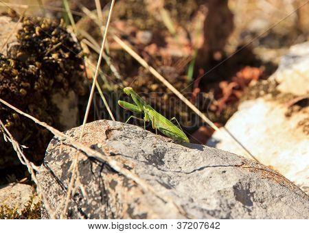 praying mantis on a stone