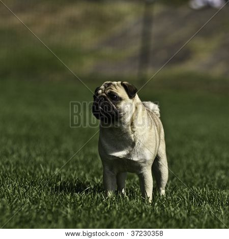 Pug in the park