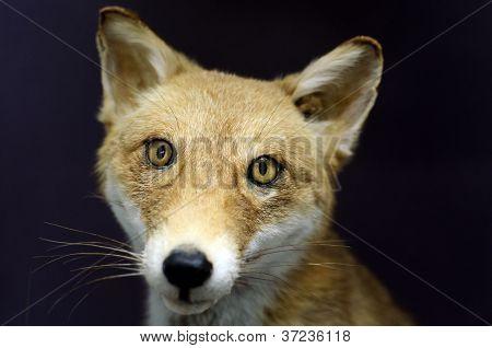 Staring Red Fox