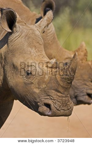 Head Shot Of Two White Rhinos