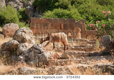 Goat At Lissos Temple