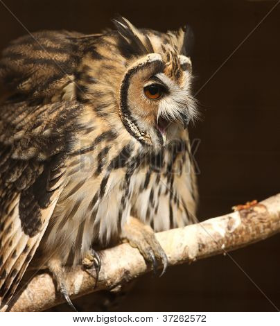 Mexican Striped Owl