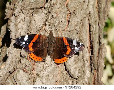 Red Admiral Butterfly (vanessa Atalanta) On Tree