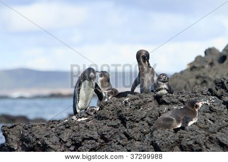 Penguin family  in the wild,  Galapagos Islands
